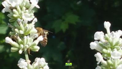 Nahaufnahme der Blüten eines Weißen Lavendels inklusive ihn besuchender Biene von K.D. Michaelis