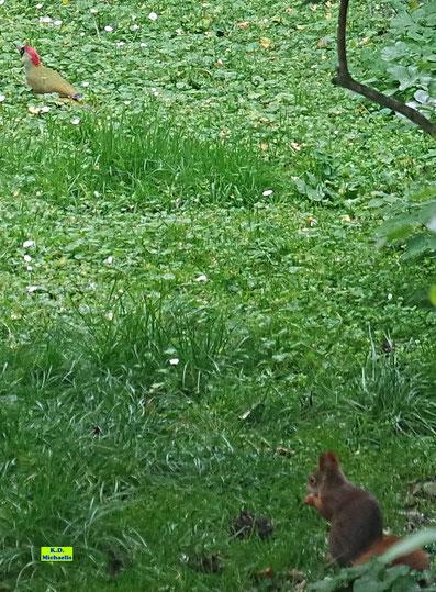 Wildes Hannover: Links oben ein wunderschöner Grünspecht und rechts unten ein Eichhörnchen, das gerade eine Hexennuss verputzt von K.D. Michaelis