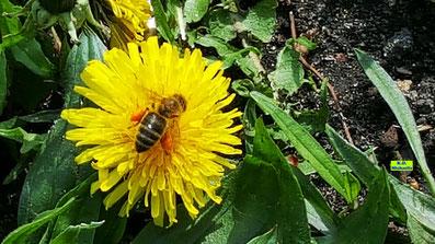 Nahaufnahme einer voll erblühten, strahlendgelben Löwenzahnblüte vor dunkelgrünem Blattwerk mit Biene samt orangen Pollenhöschen von K.D. Michaelis
