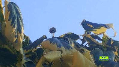 Gelb-grüne Blätter und die grünen, kugelförmigen Blütenstände des buntlaubigen kolchischen Efeus. Bild K.D. Michaelis