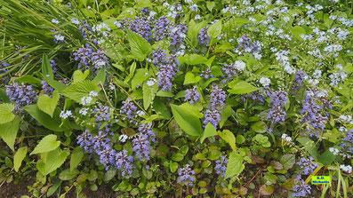 Blau-violette Blüten des Kriechenden Günsels mit den hellblauen, kleinen Blüten des Vergissmeinnichts von K.D. Michaelis