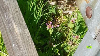 Wildform der lila blühenden Purpurroten Taubnessel die gerade von einer Wildbiene besucht wird von K.D. Michaelis