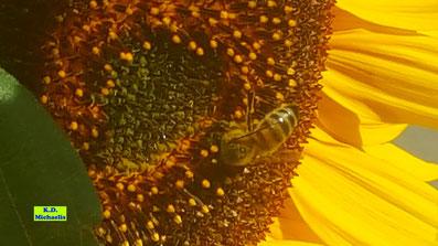Nahaufnahme einer großen, gelben Sonnenblumen-Blüte mit Honigbiene von K.D. Michaelis