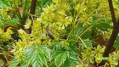 Nahaufnahme einer Honigbiene beim Nektarschlürfen inden gelben Blütenbüscheln eines Spitzahorns von K.D. Michaelis