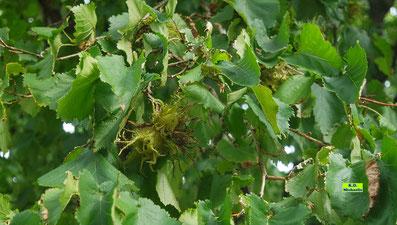 Hexennüsse in einer Baumhasel / Haselnussbaum von K.D. Michaelis