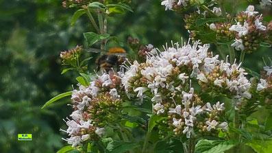 Hummel-Po einer gerade abfliegenden Hummel über den rosa-weißen Blüten des Oregano von K.D. Michaelis