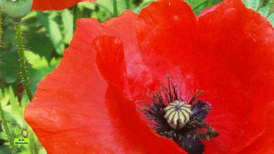 Nahaufnahme einer Mohnblüte im Sonnenschein von K.D. Michaelis