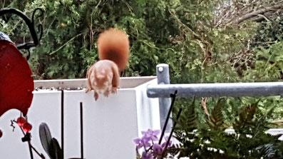 Eines unserer Eichhörnchen kurz vor dem Sprung auf den Boden des Balkons von K.D. Michaelis