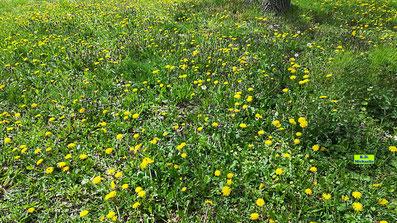 Eine richtige Löwenzahnwiese im strahlenden Frühlingssonnenschein - heute leider viel zu selten. Von K.D. Michaelis