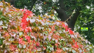Wilder Wein im Herbst mit roten und grünen Blättern von K.D. Michaelis