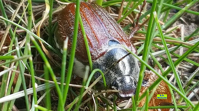 Nahaufnahme eines Maikäfers / Junikäfers im Gras von K.D. Michaelis