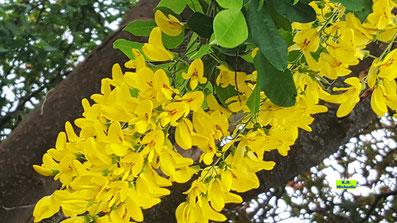 Nahaufnahme der leuchtend gelben Blüten eines Goldregens vor dem dunkelbraunen Hintergrund seiner Äste von K.D. Michaelis