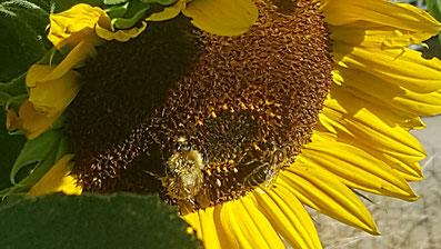 Nahaufnahme einer großen, gelben Sonnenblumen-Blüte mit Wildbiene und Honigbiene von K.D. Michaelis