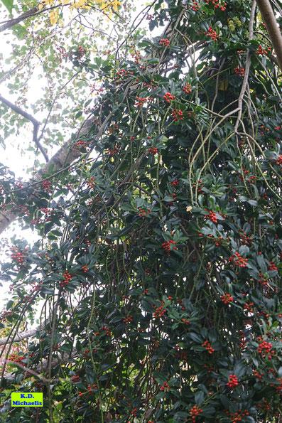 Rote Vogelbeeren von K.D. Michaelis