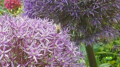 Zwei riesige, violette Blütenkugeln des Riesen-Alliums mit Biene. Bild K.D. Michaelis