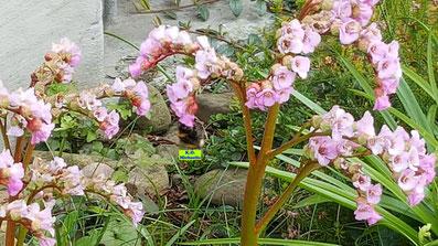 Grünbraune Blütenstängel und hellrosa Blütenkelche der Bergenie nebst einer nektarsaugenden Hummelkönigin von K.D. Michaelis