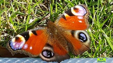 Schmetterling Tagpfauenauge in der Wiese von K.D. Michaelis