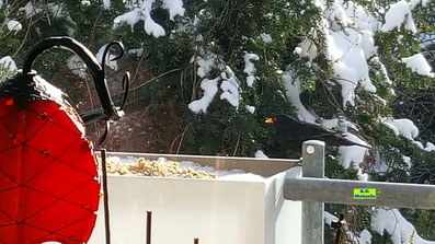 Amsel-Männchen an der Futterstelle auf dem Balkon von K.D. Michaelis