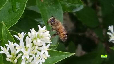Nahaufnahme weißer Liguster-Blüten mit Biene von K.D. Michaelis