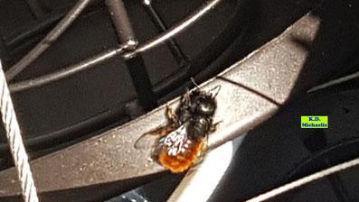 Gehörnte Mauerbiene bei der Futterpause neben dem Frühlingsbeet auf dem Balkon von K.D. Michaelis