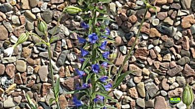 Gemeiner oder Blauer Natternkopf mit Erdhummel im Wildblumen-Saum von K.D. Michaelis