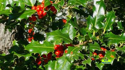 Ledrige, glänzende Blätter und in der Herbstsonne knallrot leuchtene Beeren der Europäischen Stechpalme (Ilex aquifolium) von K.D. Michaelis