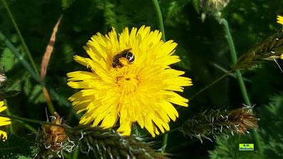 Kleine Wildbiene im Wildblumen-Saum von K.D. Michaelis