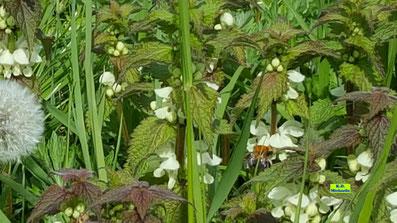 Aus der weißen Taubnesselblüte guckt ein properer Hummelpopo hervor von K.D. Michaelis