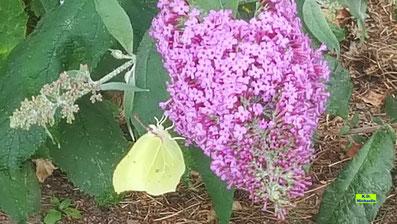 Zitronenfalter trinkt an einer rosafarbenen Schmetterlingsflieder-Blüte von K.D. Michaelis