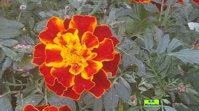 Nahaufnahme einer gelbroten Blüte einer niedrigen Tagetes / Studentenblume nebst gefiederten grünen Blättern von K.D.  Michaelis