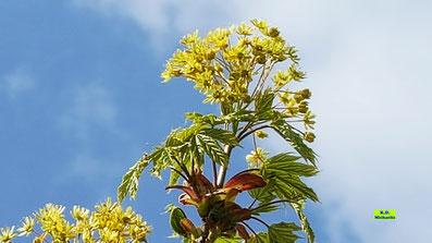 Stehende gelbe Blütenbüschel des Spitzahorns - umrankt von den noch kleinen, frischen Blattaustrieben im strahlenden Sonnenschein von K.D. Michaelis