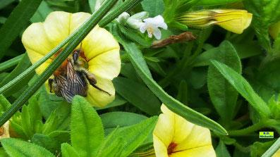 Nahaufnahme gelber Blüten eines Zauberglöckchens mit einer Hummel (vermutlich Ackerhummel) von K.D. Michaelis