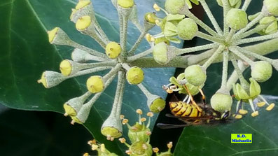 Nahaufnahme einer Wespe, die sich ihre Nahrung an den Efeublüten sucht von K.D. Michaelis