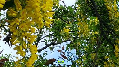 Leuchtend gelbe Blütenpracht eines Goldregens von K.D. Michaelis