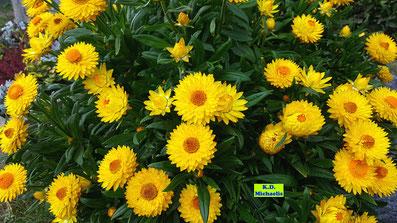 Schier unendliche Blütenpracht einer reich blühenden, gelben Strohblume von K.D. Michaelis
