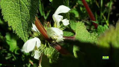 Nahaufnahme der blühenden Weißen Taubnessel mit weißen Blüten und grünen Blättern im Sonnenschein von K.D. Michaelis
