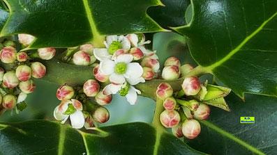 Nahaufnahme der eher unscheinbaren, kleinen, weißen Ilex-Blüten nebst grünen, stacheligen Ilex-Blättern von K.D. Michaelis