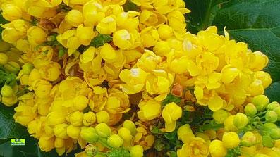 Nahaufnahme der leuchtendgelben Blütendolden einer Mahonie von K.D. Michaelis