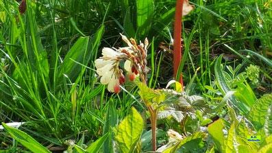 Rot-weiße, traubenförmig angeordnete Blüten nebst den grünen Blättern des Beinwell (Symphytum) / Wallwurz / Beinwurz in der Frühlingssonne von Hannover von K.D. Michaelis
