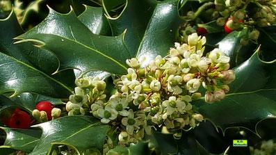 Kleine, weiße Blütendolden des Ilex nebst ein paar restlichen, roten Beeren von K.D. Michaelis