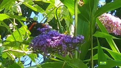 Schmetterling Admiral auf lila blühendem Sommerflieder von K.D. Michaelis