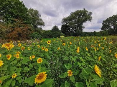 Sonnenblumenfeld bei Letter-Marienwerder. Aufgenommen am 01.08.2021 von Marc Wettering