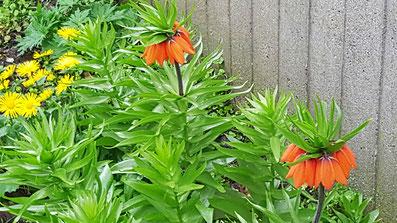 Zwei orange blühende Kaiserkronen von K.D. Michaelis