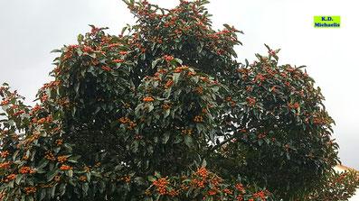 Krone eines Vogelbeerbaumes / Eberesche / Vogelbeere mit leuchtend orangen Beeren vor dunkelgrünem Laub im Herbst von K.D. Michaelis