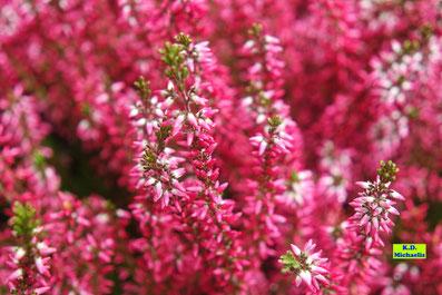 Nahaufnahme der dunkelrosa Blüten des Heidekrauts als Knospenblüher ohne Nektar von K.D. Michaelis