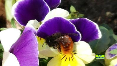Gehörnte Mauerbiene auf einem lila-gelben Hornveilchen von K.D. Michaelis