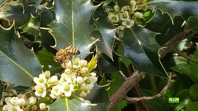 Kleine, weiße Blütendolden des Ilex inklusive einer Biene beim Nektarsammeln von K.D. Michaelis