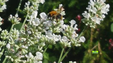 Blüten des Weißen Lavendels mit einer sie besuchenden Hummel von K.D. Michaelis