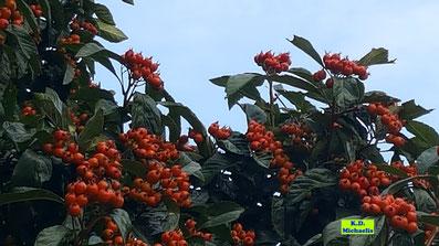 Orange Beeren tragende Eberesche / Vogelbeere / Vogelbeerbaum von K.D. Michaelis