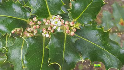 Unscheinbare, kleine, weiße Ilex-Blüten nebst grünen, stacheligen Ilex-Blättern von K.D. Michaelis